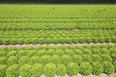 field of green lettuce grown with biological techniques without fungicides