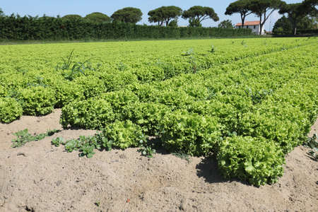 green lettuce with sandy soil to favor the growth of vegetables in summer