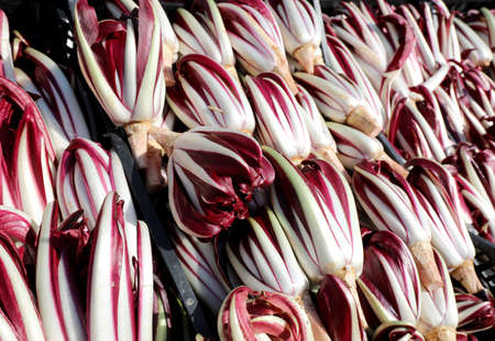 background of Red chicory also called Radicchio Tardivo in Italian language