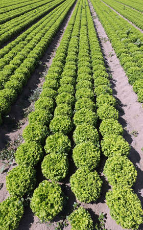 long rows of green lettuce with sandy soil to favor the growth of vegetables Фото со стока
