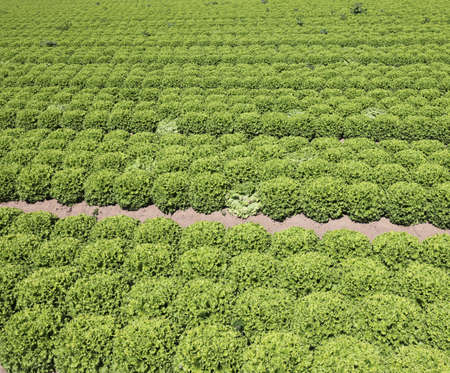 background of  green lettuce on the sandy soil to favor the growth of vegetables