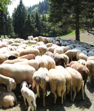 Flock of white sheep grazes on the mountain meadow in summer