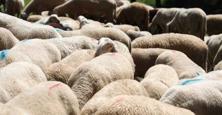 background of many sheep with white wool