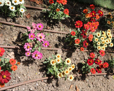 flowerbed and many flowers with pipe of irrigation systems to watering ni summer