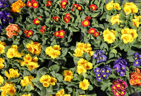 background of many colorful primroses for sale at the market