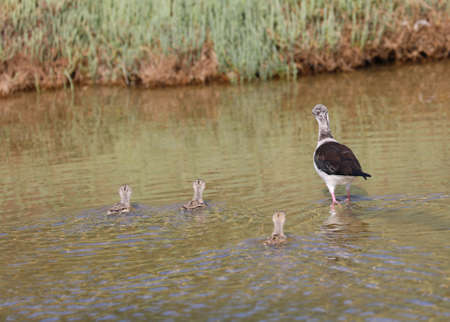 three young chickens of Black winged stilt bird and the bird mother on the pond
