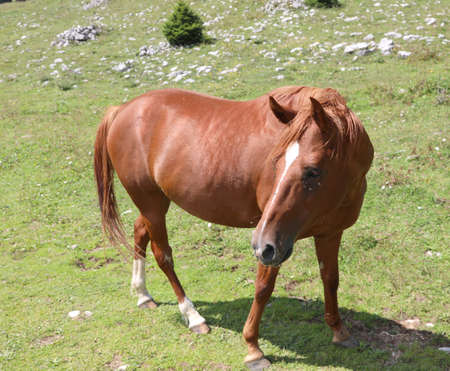 wonderful brown horse in the green  meadow