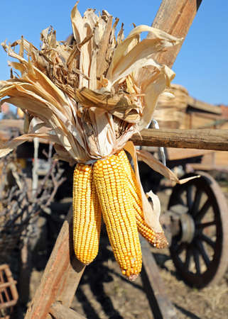 yellow dried ripe panicles with corn seeds tied to the old farm wagon in this rural setting Imagens