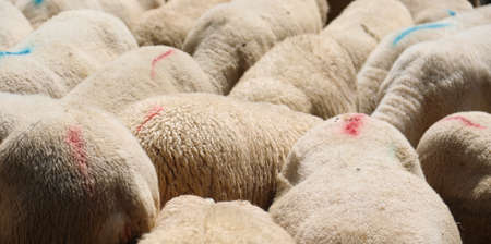 background of many sheep with wool