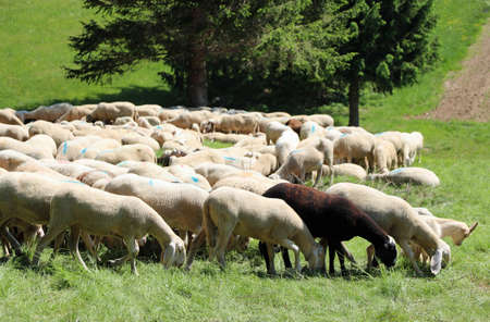 Flock of many white sheep grazes on the mountain meadow