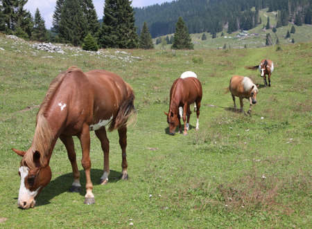 mountain landscape and many horses while eating green grass in summer