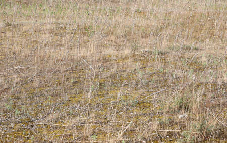 dried vegetation of maquis shrubland in summer