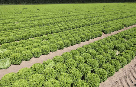 wide field of green lettuce grown with organic techniques without pesticides