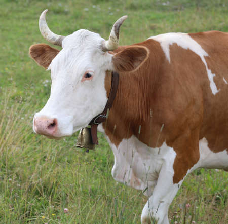 Horned cow with cowbell in mountains