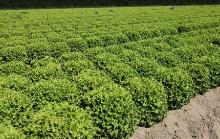 green fresh lettuce on the field in summer Banco de Imagens