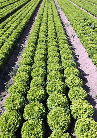 field of green lettuce grown with organic techniques on sandy soil to promote growth