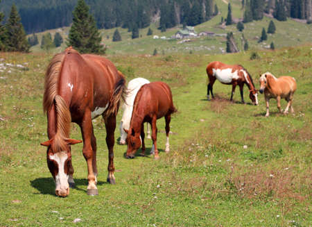group of free wild horses herding in mountain