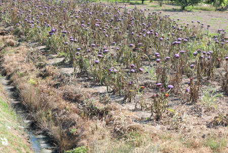 Field of mature artichokes with purple and blue flowers in summer