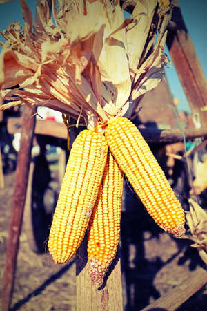 mature dry yellow corn with corn seeds tied to the old cart farm in this rural setting with old toned effect