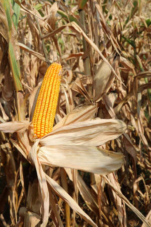 panicle with maize seeds in the field