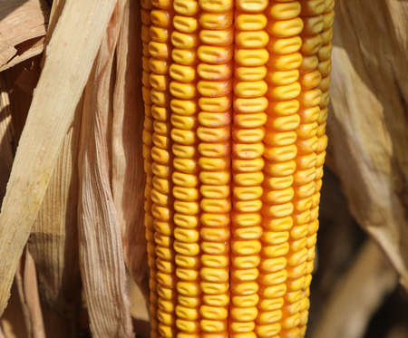 close up of many yellow seeds of maize