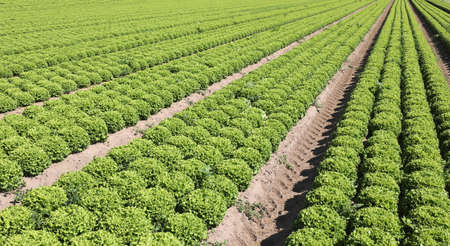 immense field of green lettuce ordered by rows on the draining sandy soil in summer Banque d'images