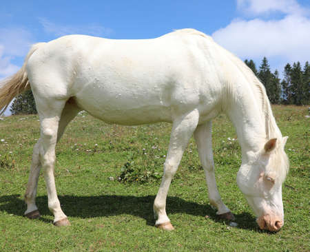 white albino horse white grazing in mountain in summer without people