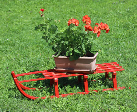 small red sled with geraniums on the green meadow in summer