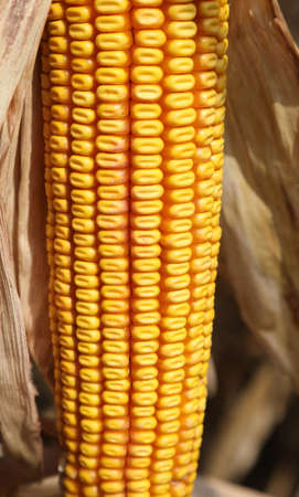 background of many yellow seeds of corn cob in summer