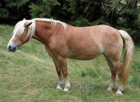 brown horse with hair on the eyes in mountain Stock Photo