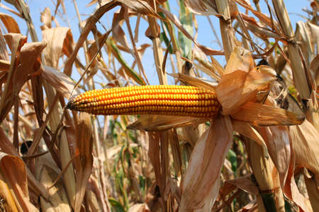 yellow ripe corn cob and yellow seeds in summer