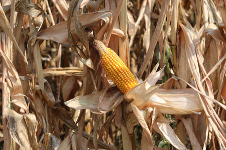 Big yellow panicle of maize and dried leaves in summer