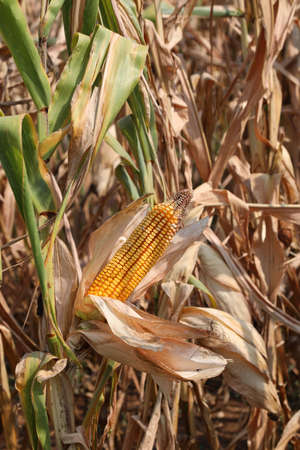 big yellow ear of corn in the cultivated field