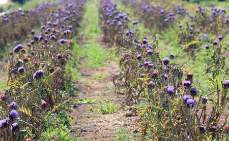 cultivated field of ripe flowered artichokes on the sandy soil