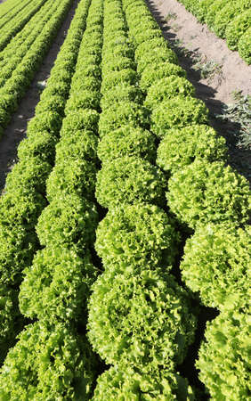 long rows of fresh green lettuce in the field with sandy soil to facilitate the drainage of excess water and ensure the right humidity at the roots of plants Фото со стока