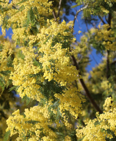 background of many yellow flowers of Mimosa