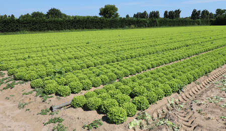 fresh green lettuce in the sand in the padana plain in Italy