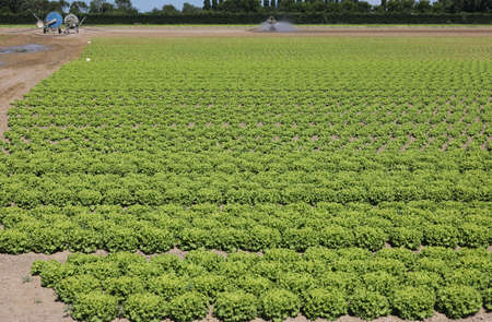 intensive cultivation of salad greens with sandy soil to favor the growth of vegetables in summer