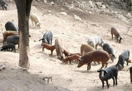outdoors pigsty with many pigs and piglets