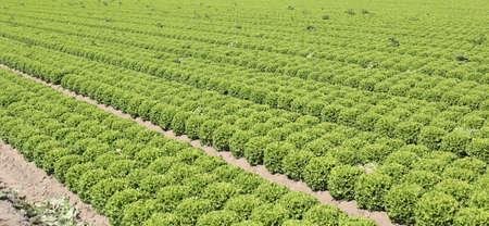 many heads of lettuce in a large field