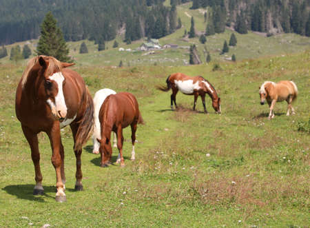 group of many horses at wild state in mountain Imagens