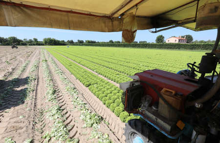 inside of the tractor for the collection of fresh green lettuce in the field with sandy soil to facilitate the drainage of excess water and ensure the right humidity at the roots of the plants