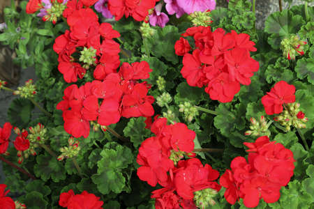 platns of red geraniums flowers in a balcony