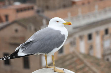 white seagull on a roof of a house in the city center of Rome