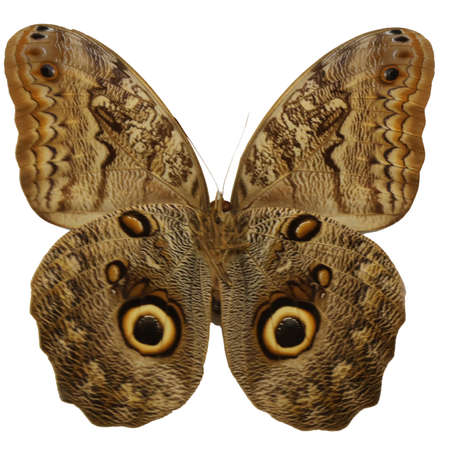 big beautiful butterfly with colored wings like the eyes of an owl to mime and escape predators Archivio Fotografico