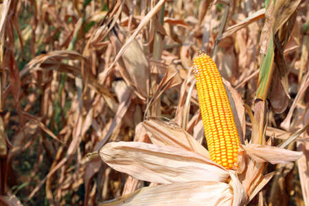 Big Yellow Corn cobs maize in the field in summer