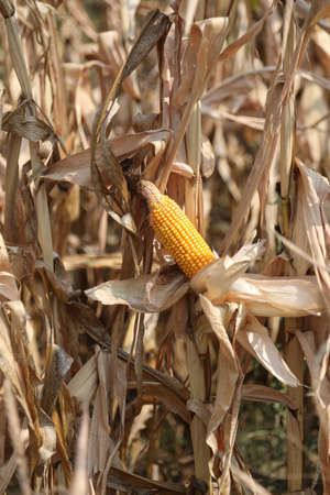 yellow panicle of maize and dried leaves in summer