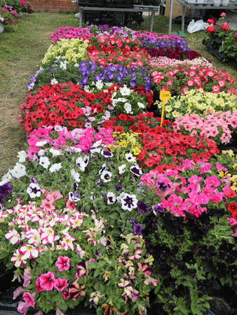 many pots of petunia flowers for sale at market Banco de Imagens