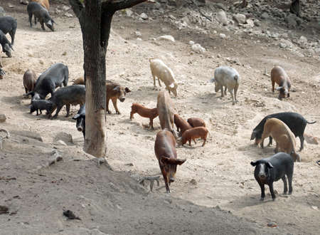 livestock of many wildness pigs in the farm