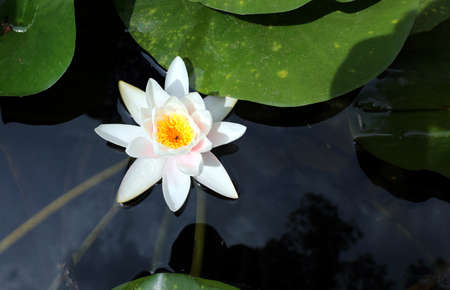white flower of waterlilies on the water of the pond